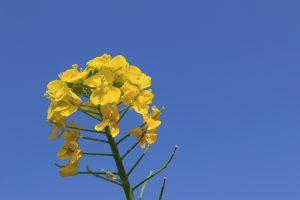 菜の花(浜離宮庭園)